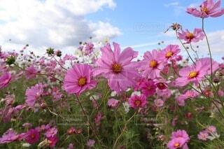 自然,空,花,秋,お花畑,屋外,ピンク,コスモス,紫,カラー,コスモス畑,草木,10月