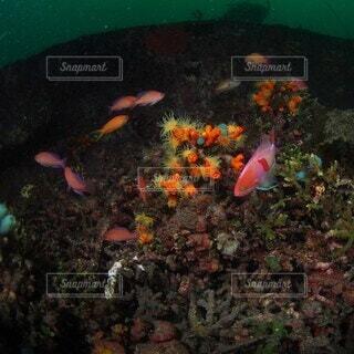 海,動物,魚,泳ぐ,水中,ダイビング,海底,ハナダイ,underwaterphotography,スキューバ ダイビング