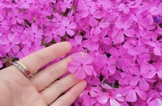 一際輝く芝桜の写真・画像素材[4940427]