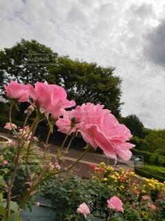 花,ピンク,バラ,薔薇,草木,フローラ