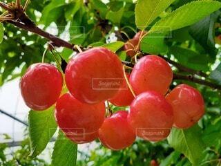 食べ物,屋外,果物,樹木,さくらんぼ,果樹
