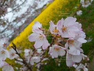 花,春,桜,樹木,草木