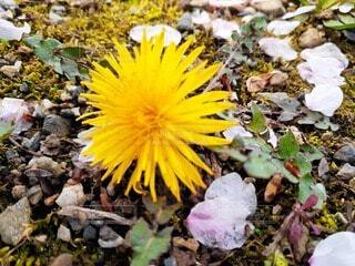 花,屋外,黄色,草,草木,タンポポ,フローラ