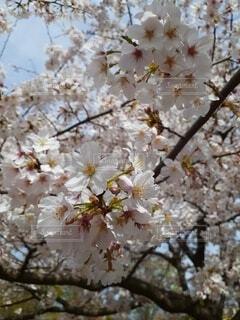 花,春,樹木,草木,さくら,ブルーム,ブロッサム