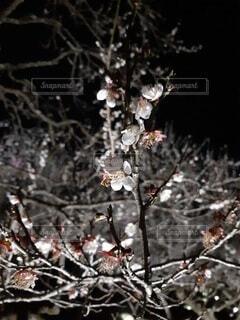 花,夜,梅,樹木,景観