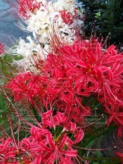 花,赤,曼珠沙華,草木