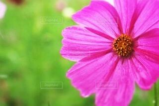 自然,風景,花,秋,花畑,雨,ピンク,かわいい,コスモス,綺麗,景色,秋桜