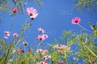 自然,風景,空,花,秋,ピンク,緑,植物,コスモス,綺麗,青空,青,景色,可愛い,秋桜