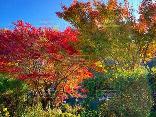 自然,風景,空,花,秋,紅葉,赤,綺麗,青空,景色,観光,大自然,旅行