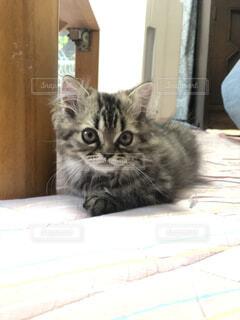 猫,動物,屋内,景色,子猫,cat,見つめる,にゃん,ネコ