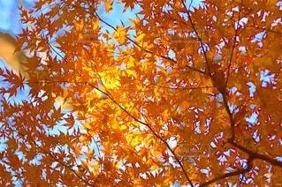 紅葉と青空の写真・画像素材[4922236]