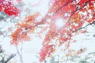 空,公園,花,秋,森林,葉っぱ,葉,もみじ,樹木,草木,カエデ