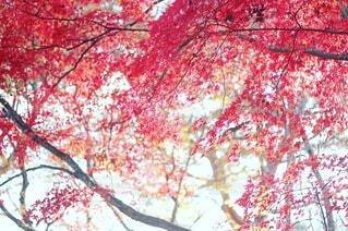 花,秋,紅葉,葉,もみじ,樹木,草木,カエデ,ブロッサム