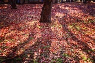 自然,秋,紅葉,森林,木,葉,もみじ,影,シルエット,草,地面,落葉,カエデ