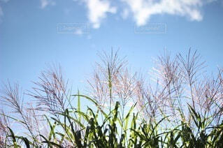 自然,空,秋,屋外,雲,青空,草,樹木,ススキ,草木,くも,すすき