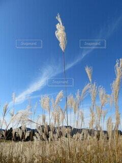 青い空とススキの写真・画像素材[4923503]