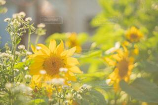 我が家の夏の写真・画像素材[4922906]