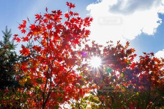 空,秋,屋外,葉,樹木,草木,カエデ