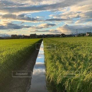 美味しいお米がたくさんの稲の写真・画像素材[4928542]