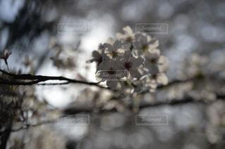 春,ブロッサム