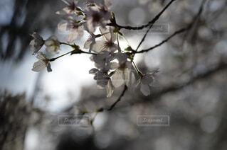 花,春,樹木,草木,桜の花,さくら,ブロッサム,支店