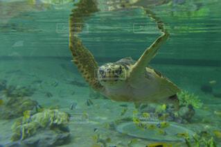 動物,魚,水族館,水面,葉,泳ぐ,カメ,ウミガメ,爬虫類,亀,ケンプヒメウミガメ