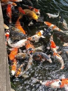 魚,屋外,水面,オレンジ,コイ,鯉