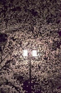 花,桜,夜桜,樹木,街灯,明るい