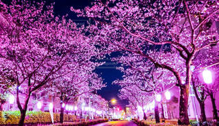 花,春,桜,屋外,ピンク,サクラ,樹木,草木,スプリング,さくら