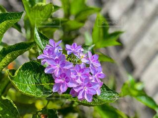 花,雨,屋外,緑,あじさい,紫,紫陽花,梅雨,草木,アジサイ,むらさき
