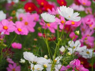 花,ピンク,白,コスモス,花びら,秋桜,草木