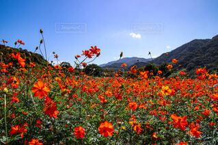自然,風景,空,花,秋,屋外,植物,コスモス,青空,青,山,景色,オレンジ,草,Autumn,キバナコスモス,草木,日中,オータム,あき