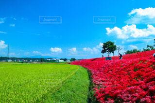 空,花,屋外,赤,雲,青空,青,彼岸花,曼珠沙華,あか,草木,あお