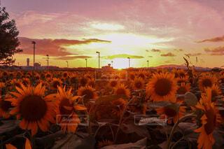 自然,空,花,夕日,屋外,太陽,ひまわり,雲,夕焼け,夕暮れ,オレンジ,向日葵,夕陽