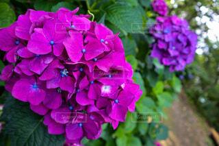 花,雨,屋外,あじさい,紫,紫陽花,梅雨,草木,アジサイ,むらさき