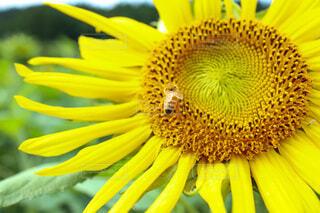 花,夏,ひまわり,黄色,向日葵,蜂,summer,なつ,草木,きいろ,花粉,クローズ アップ