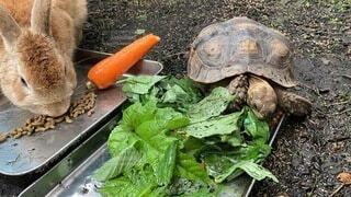 野菜,カメ,ウサギ