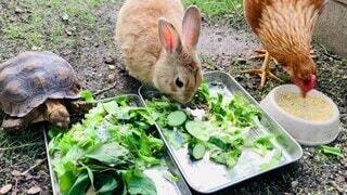 動物,うさぎ,にわとり,カメ,ウサギ