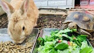 動物,カメ,ウサギ