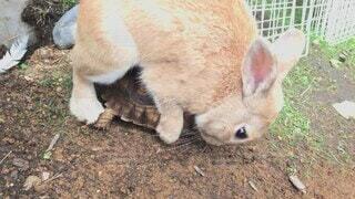 動物,屋外,地面,カメ,ウサギ,野うさぎ