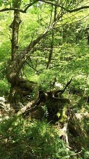 自然,風景,森林,屋外,葉,木漏れ日,樹木,草木,曲がった木,マイナスイオン発生