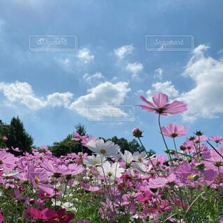 青空の下のコスモス畑の写真・画像素材[4943206]