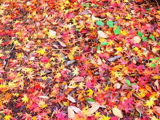 公園,秋,冬,紅葉,緑,赤,カラフル,黄色,もみじ,オレンジ,落ち葉,日本,徳島県,絨毯,フォトジェニック,インスタ映え,多色