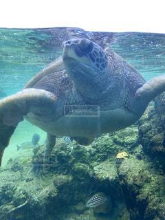 動物,魚,屋外,水族館,水面,葉,泳ぐ,水中,カメ,ダイビング,爬虫類,海獣