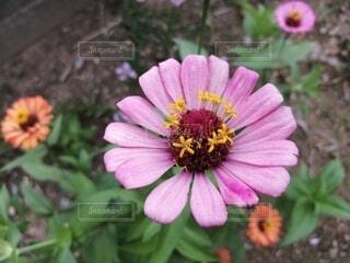花,屋外,草木,アフリカ デイジー