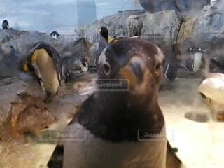 動物,鳥,ペンギン