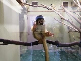 猿,動物,霊長類