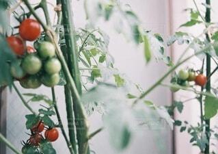 ミニトマトの写真・画像素材[4929610]