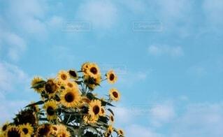 空,花,夏,屋外,ひまわり,草木,日中
