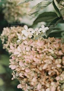 花,秋,ドライフラワー,紫陽花,草木,おしゃれ